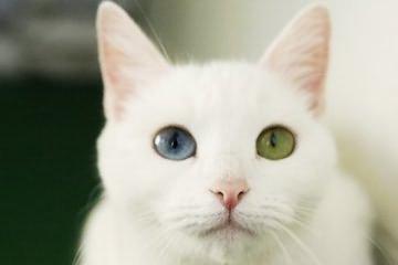 世界十大最奇特的猫排行,短尾/折耳个个奇怪
