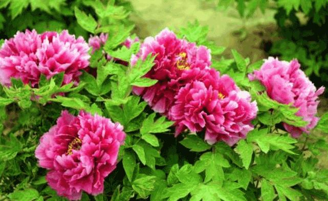 中国有哪些名花?中国四大名花详细介绍(附图片)