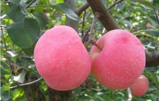 十大减肥水果排行榜-苹果